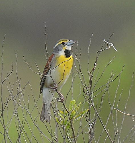 Dickcissel, breeding male | by birding4ever