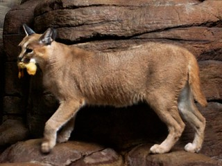 Caracal Snack | by MrGuilt