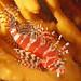 Dendrochirus brachypterus - Photo (c) John Turnbull, algunos derechos reservados (CC BY-NC-SA)