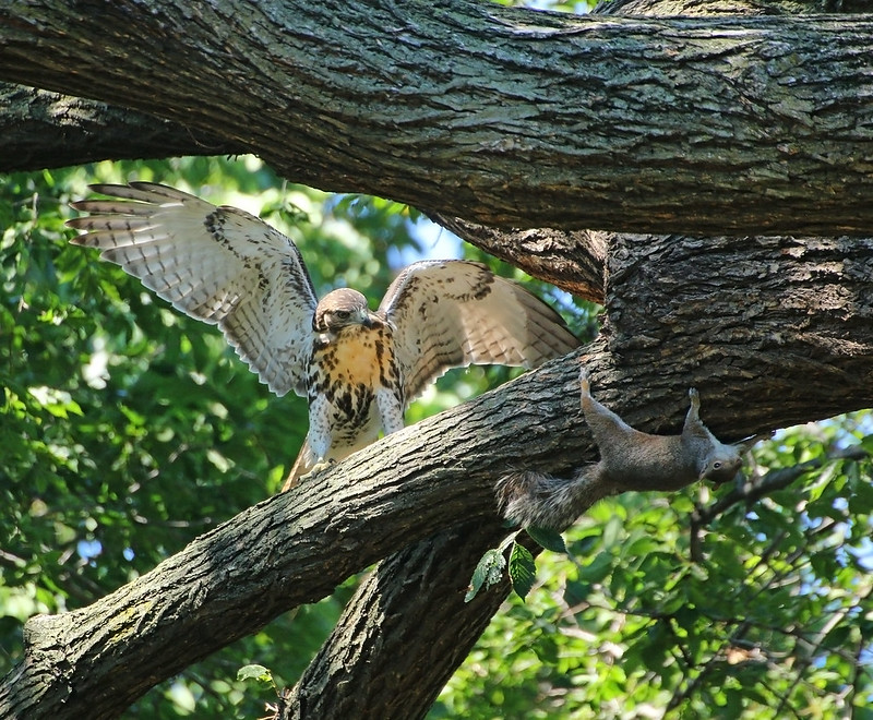 Red tail fledgling and squirrel