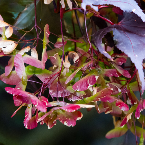 Japanese acer seeds