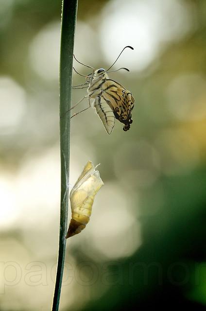 Papilio machaon viene.