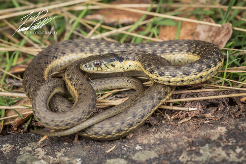 Two-striped Garter Snake | by Frank Portillo