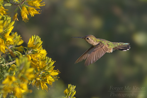 hummingbird annashummingbird bird flying flight wings sunset sunrise flower feeding bolsachica huntingtonbeach california