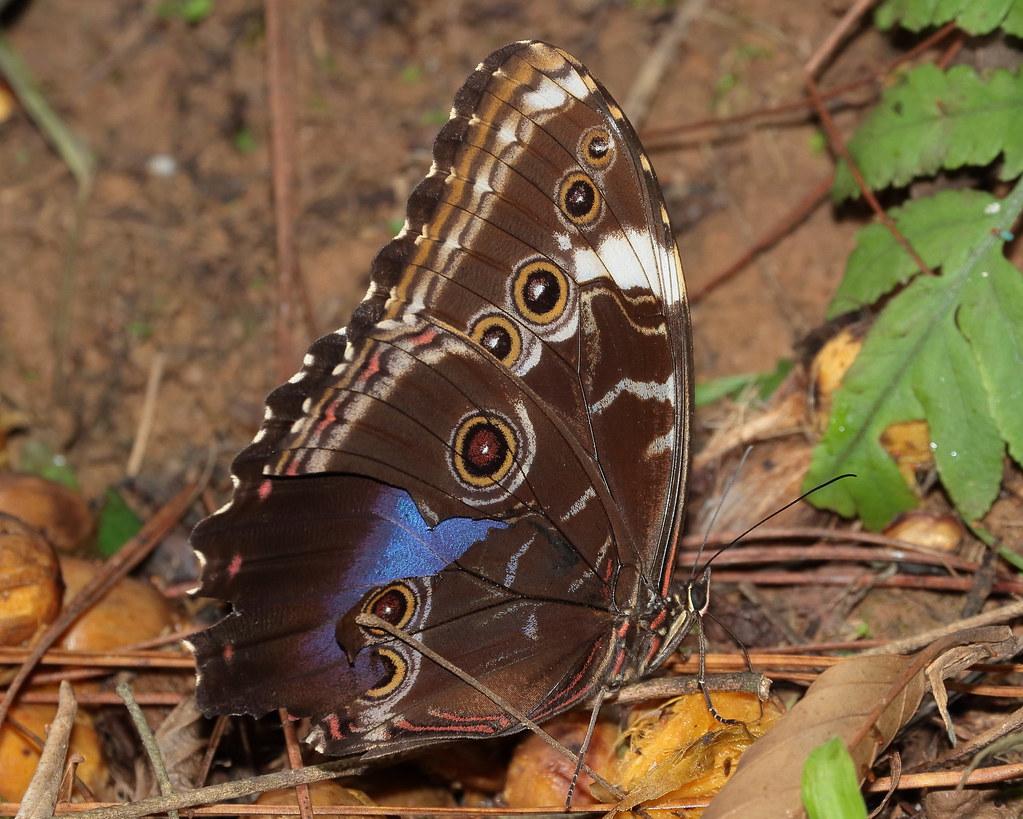 Butterfly: Morpho achilles achillaena - var. violacea [Hübner, 1819]