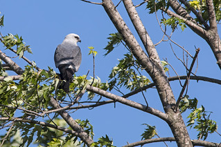 Mississippi Kite | by Stephen J Pollard (Loud Music Lover of Nature)