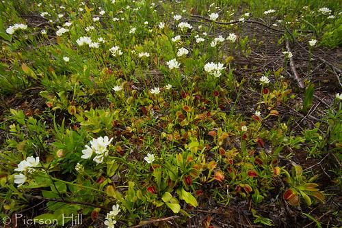 Venus Flytrap (Dionaea muscipula)   by Pierson Hill