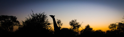africa silhouette southafrica south greater giraffe kruger pondoro balule