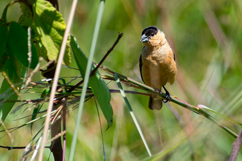 Capped Seedeater