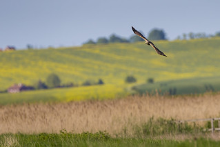 Marsh Harrier Patrolling | by iesphotography