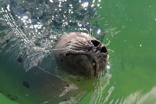 Seal Snout   by Satriver
