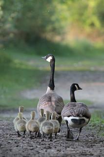 2014 05 14_Canada Goose