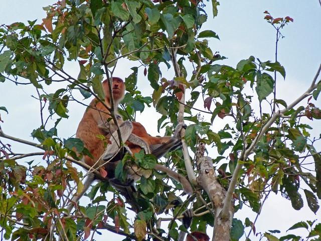 Monos narigudos en el río Kinabatangan (Borneo)