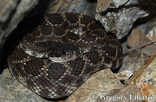 Southern Pacific Rattlesnake (Crotalus oreganus helleri) | by Gopher Greg