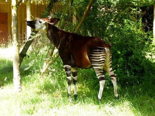 Okapi (06/07/2014)