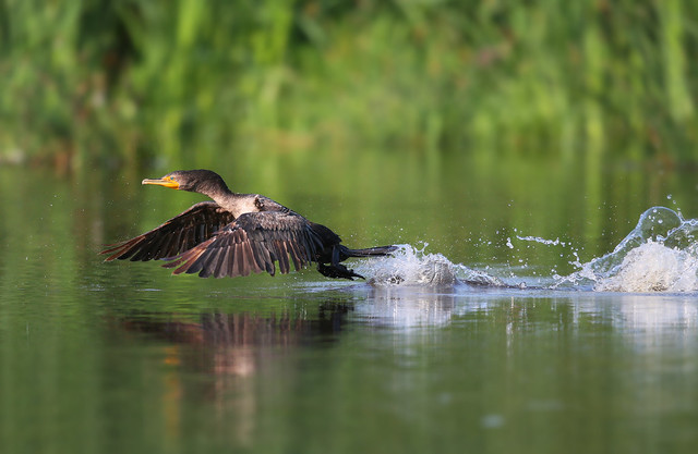 jeune cormoran en décollage  / immature cormorant taking off