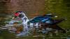 Cairina moschata (Muscovy Duck/Pato real) by PriscillaBurcher
