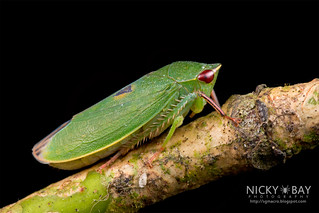 Leafhopper (Krisnini) - DSC_9801