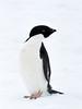 Adelie Penguin (Pygoscelis adeliae) by David Cook Wildlife Photography