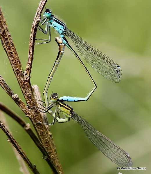 IMG_0321. BLUE-TAILED DAMSELFLY (Ischnura elegans)