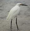 Snowy Egret - Egretta thula by podicep