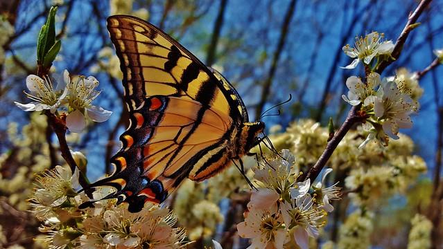 Eastern Tiger Swallowtail 2017