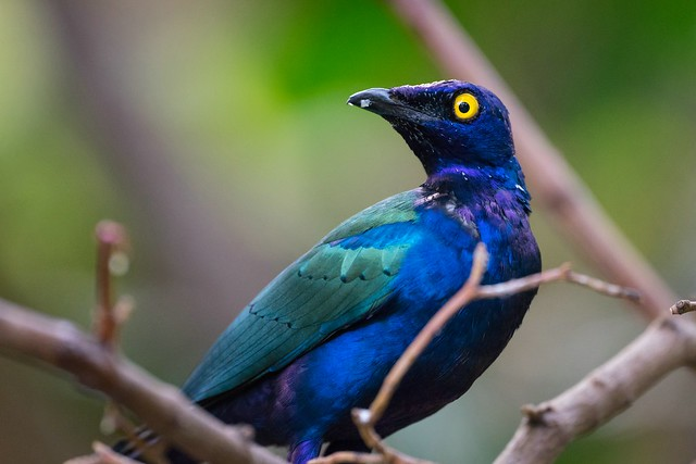 Purple-Glossy Starling / Purpurglanzstar