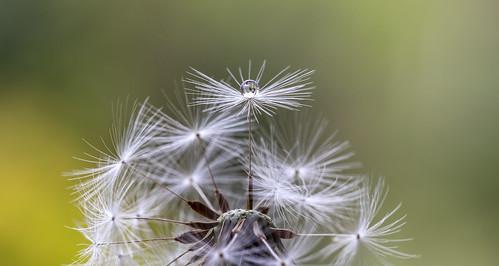 plant dandelion seed waterdrop macro macrodreams