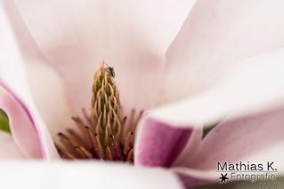 Magnolie | Projekt 365 | Tag 96