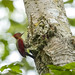 banded woodpecker - chrysophlegma mineaceus by dannywong118