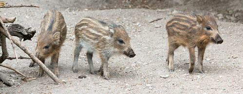 Three little piggies | by Satriver