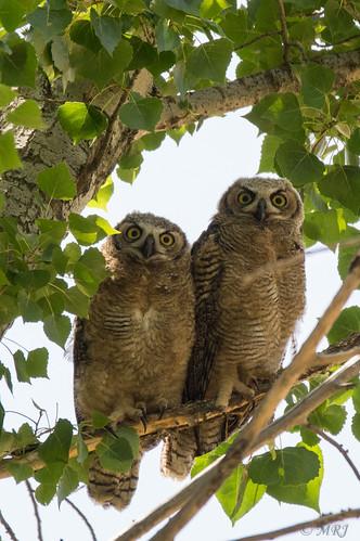 california birds northerncalifornia unitedstates owl bayarea antioch greathornedowl a57 ruby3 contraloma eastbayregionalparks sonyalpha sal70400g ebparksok ruby10 ruby15 ruby20