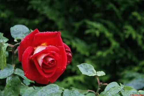 PPR - S23 - Règle des tiers 12-rose sur fond de thuya
