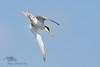 Little Tern (Sternula albifrons) by FalcoWildlifePhoto