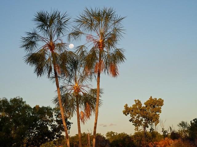 Livistona inermis- Wispy fan palm