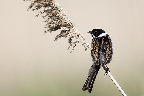 Reed Bunting2 | by wickwelsh