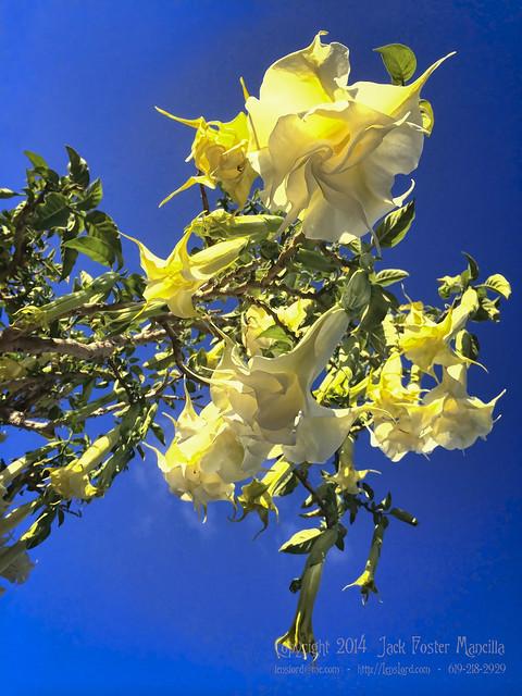 Trumpet Flower IMG_2146