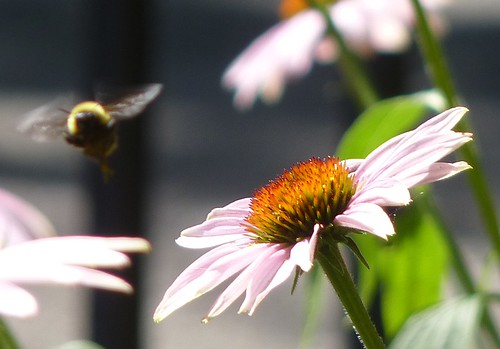 bumble bee echinacea (3) | by GammaBlog