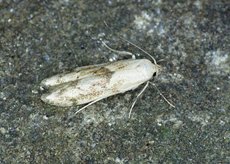 874 Blastobasis lacticolella