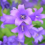 カンパニュラ・ラティフォリア Large bellflower