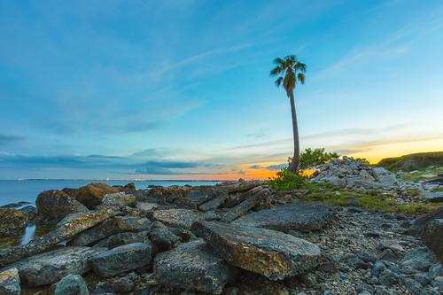 sunset tree tampa island bay florida palm davis