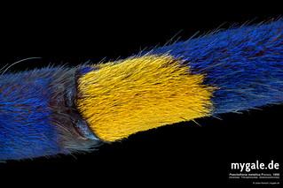 P. metallica (Tarantula Leg) | by mygale.de