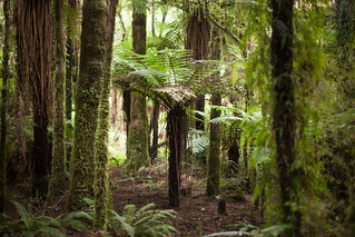 Katote tree fern (Cyathea smithii) | by Sitoo