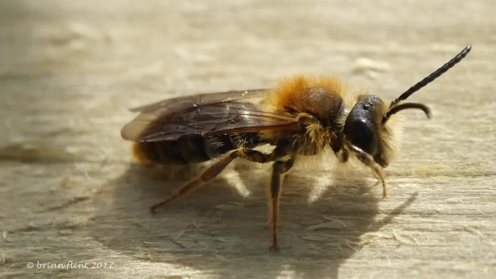 Beefly and Mining bees