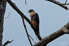 IMG_6527 Orange-breasted Falcon by Cliff Buckton