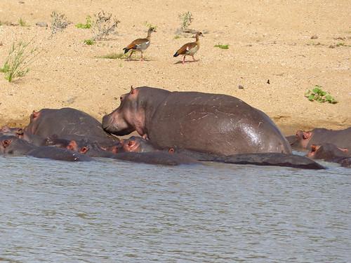 Hippos (Hippopotamus amphibius) | by berniedup