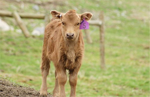 Newborn calf named after my Mom | by ilan katin