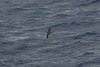 Collared Petrel, At sea, New Zealand-Norfolk Island by Terathopius