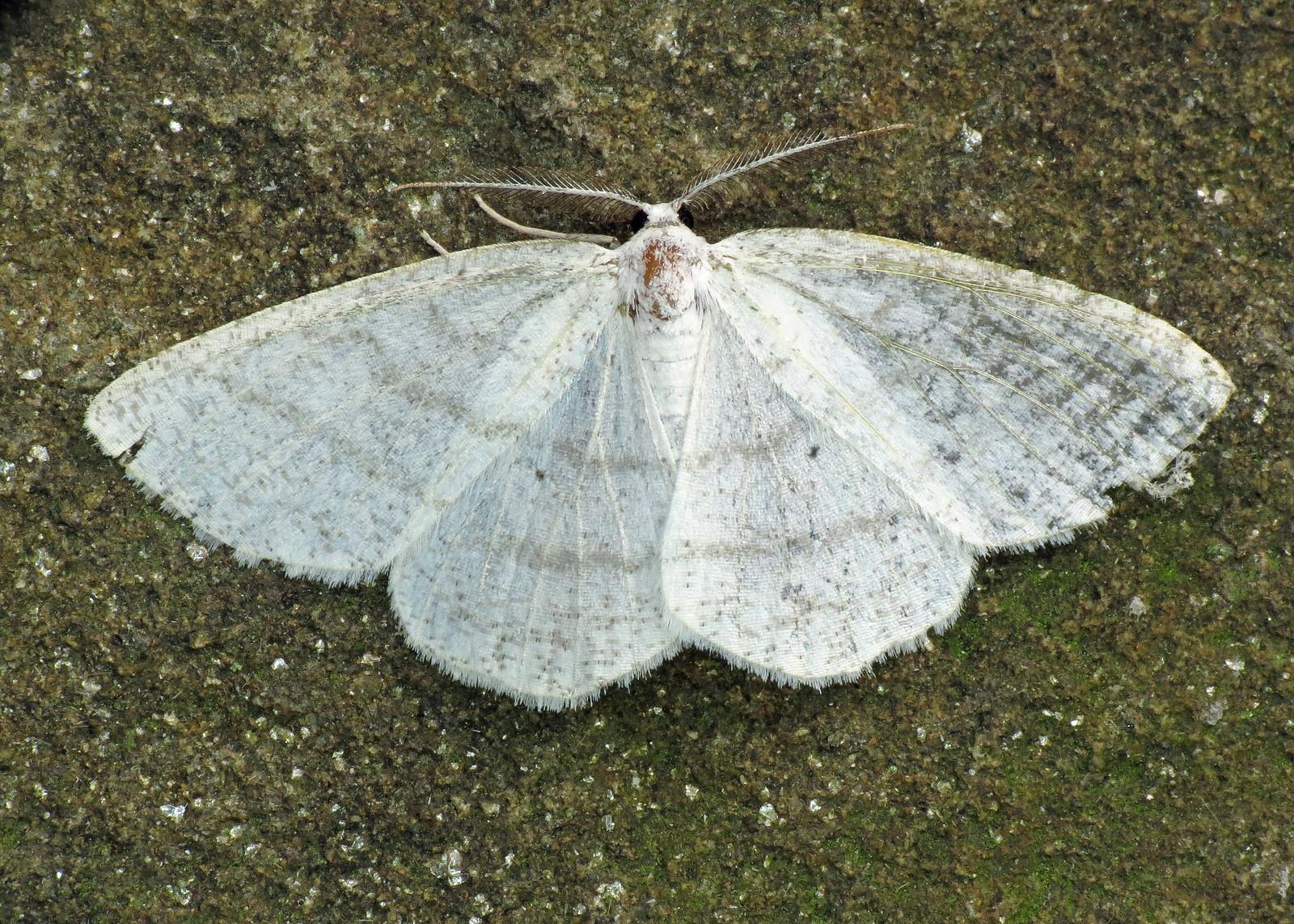 1955 Common White Wave - Cabera pusaria