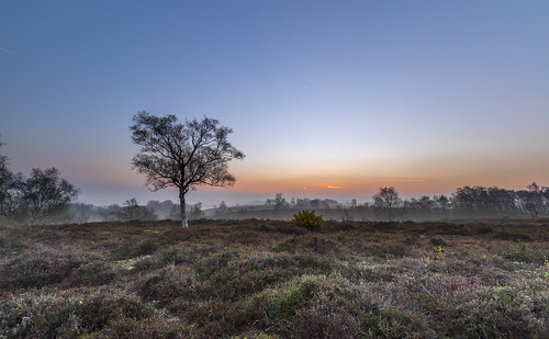 newforest rockfordcommon sunrise dawn tree heather gorse landscape mist